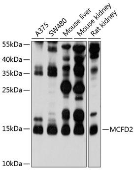 Anti-MCFD2 Antibody (CAB10376)