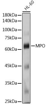 MPO Rabbit Polyclonal Antibody (CAB1374)