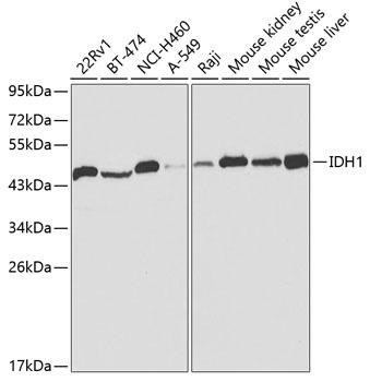 IDH1 Rabbit Polyclonal Antibody (CAB2169)