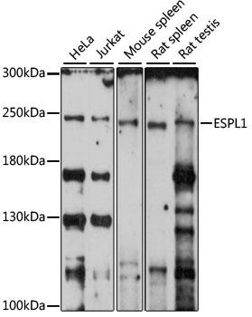 ESPL1 Rabbit Polyclonal Antibody (CAB15366)