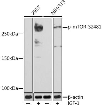 Phospho-mTOR-S2481 Rabbit Monoclonal Antibody (CABP0978)