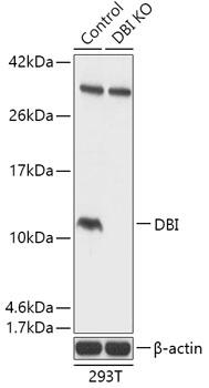 Anti-DBI Antibody [KO Validated] (CAB18068)
