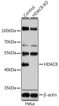 Anti-HDAC8 Antibody [KO Validated] (CAB5829)