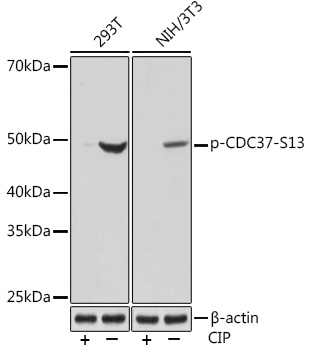 Anti-Phospho-CDC37-S13 Antibody (CABP1141)