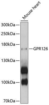 Anti-GPR126 Antibody (CAB10318)