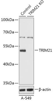 [KO Validated] TRIM21 Rabbit Polyclonal Antibody (CAB18027)