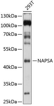 NAPSA Rabbit Polyclonal Antibody (CAB5594)
