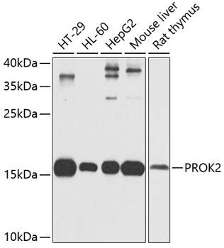 PROK2 Rabbit Polyclonal Antibody (CAB6705)