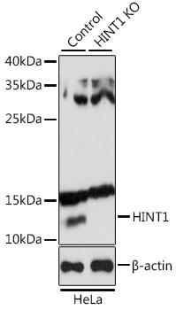 [KO Validated] HINT1 Rabbit Polyclonal Antibody (CAB10221)