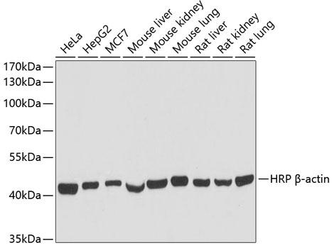 Anti-HRP-conjugated Beta Actin Rabbit Monoclonal Antibody (CABC028)