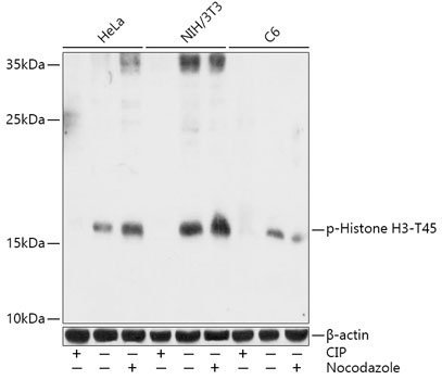 Phospho-Histone H3-T45 Rabbit Polyclonal Antibody (CABP0898)