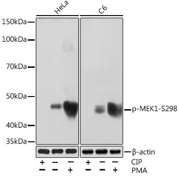 Anti-Phospho-MEK1-S298 Antibody (CABP1020)