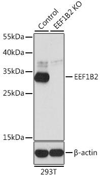 Anti-EEF1B2 Antibody [KO Validated] (CAB6580)