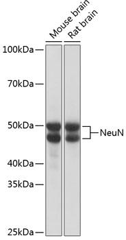 Anti-NeuN Antibody (CAB19086)