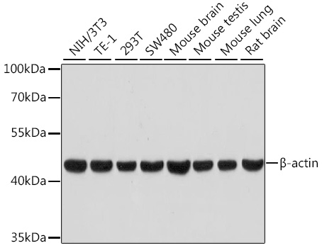 Beta Actin Rabbit Monoclonal Antibody (High Dilution) (CABC026)