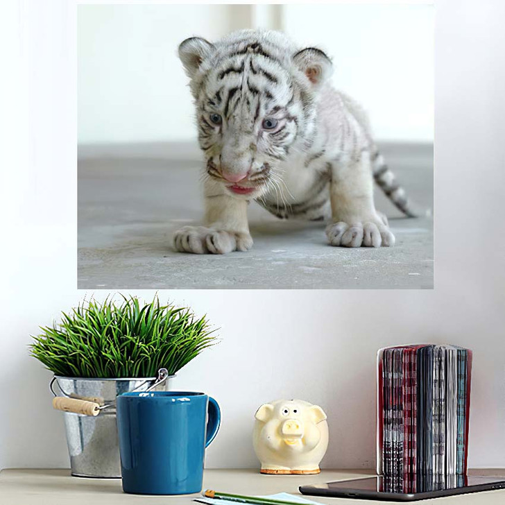 3 Week White Tiger - White Tiger Animals Wall Art Poster