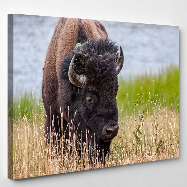 Bison On Late Summer Day Yellowstone - Bison Animals Canvas Wall Decor