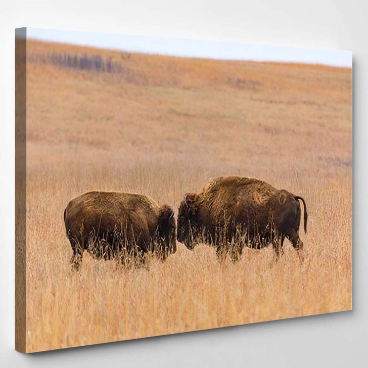 Two American Bison Face Each Other - Bison Animals Canvas Wall Decor