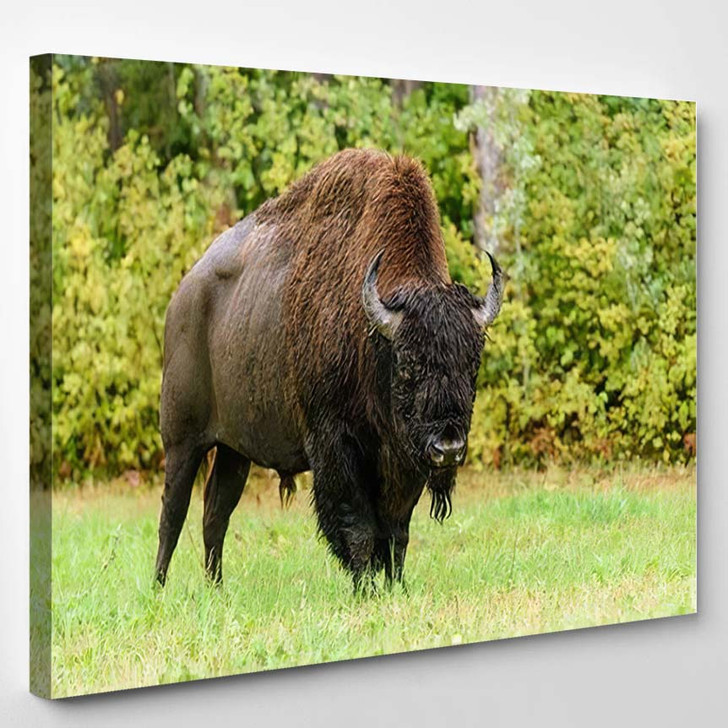 Wood Bison Athabascae Often Called Mountain - Bison Animals Canvas Wall Decor