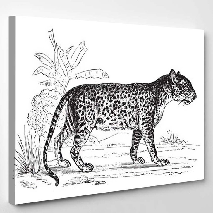 Panther Vintage Engraved Illustration Zoology Elements - Black Panther Animals Canvas Wall Decor