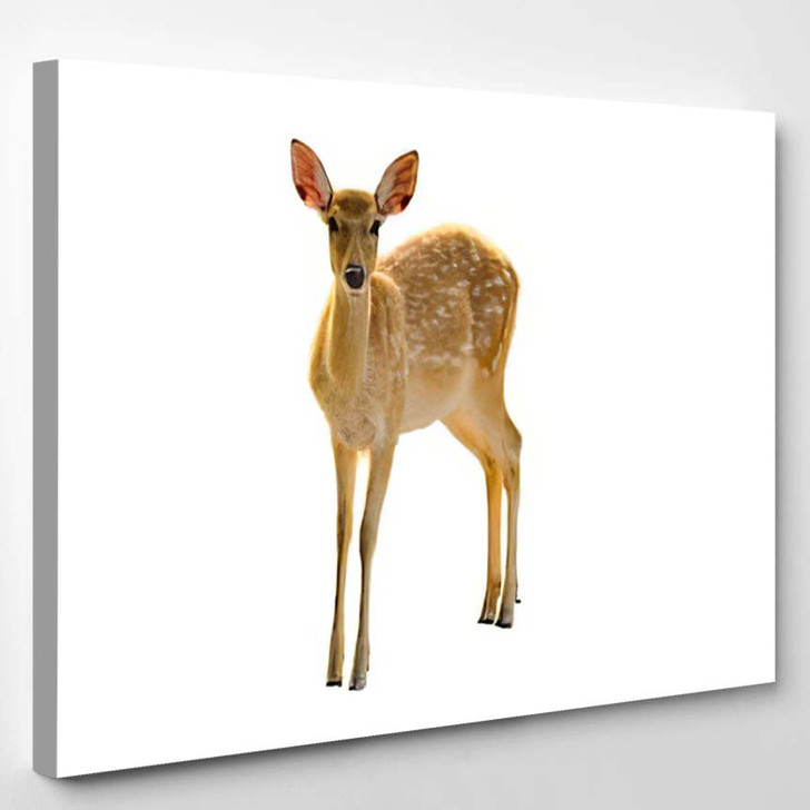 Baby Deer Isolated White Background - Deer Animals Canvas Wall Decor