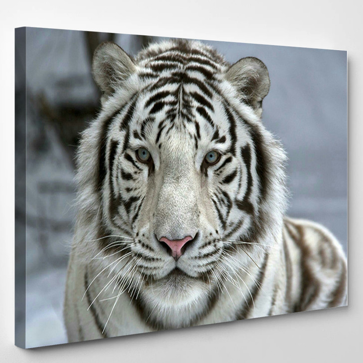 Face To Face With White Bengal Tiger - Animals Canvas Wall Decor