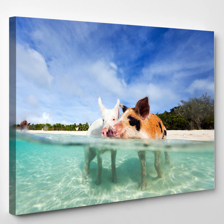 Swimming Pigs Of The Bahamas In The Out Islands Of The Exuma - Animals Canvas Wall Decor