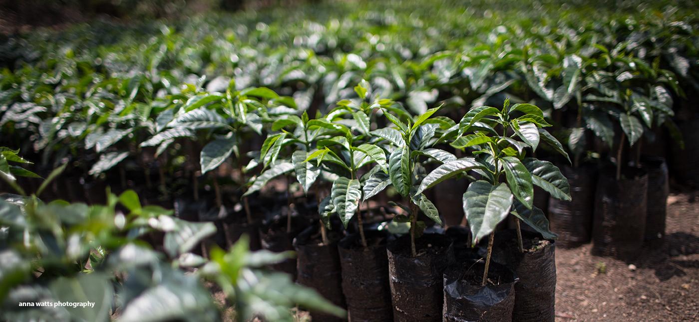 rows of coffee plant seedlings