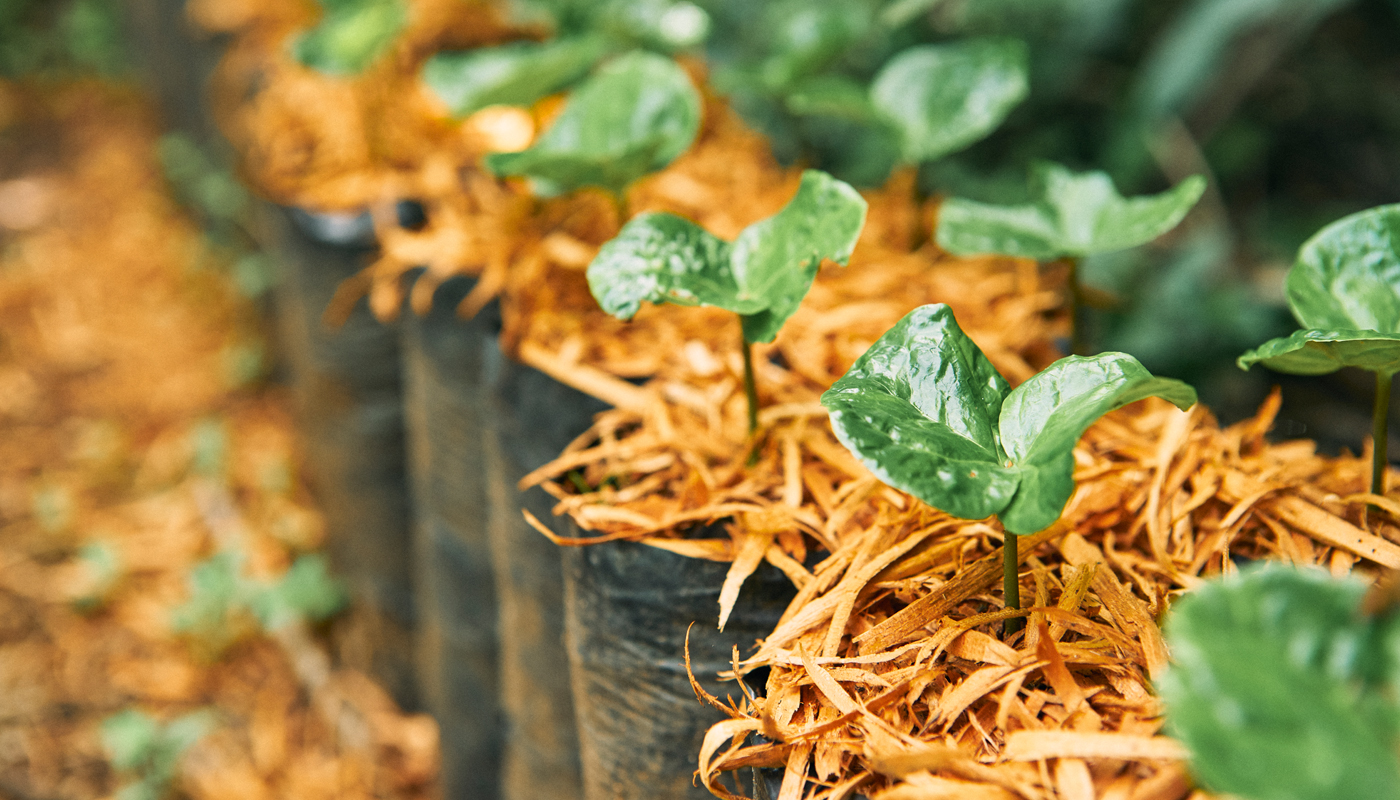 coffee plant seedlings in a row