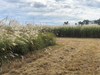 Real World Giant Miscanthus Grass For Plot Screen For Whitetail Deer