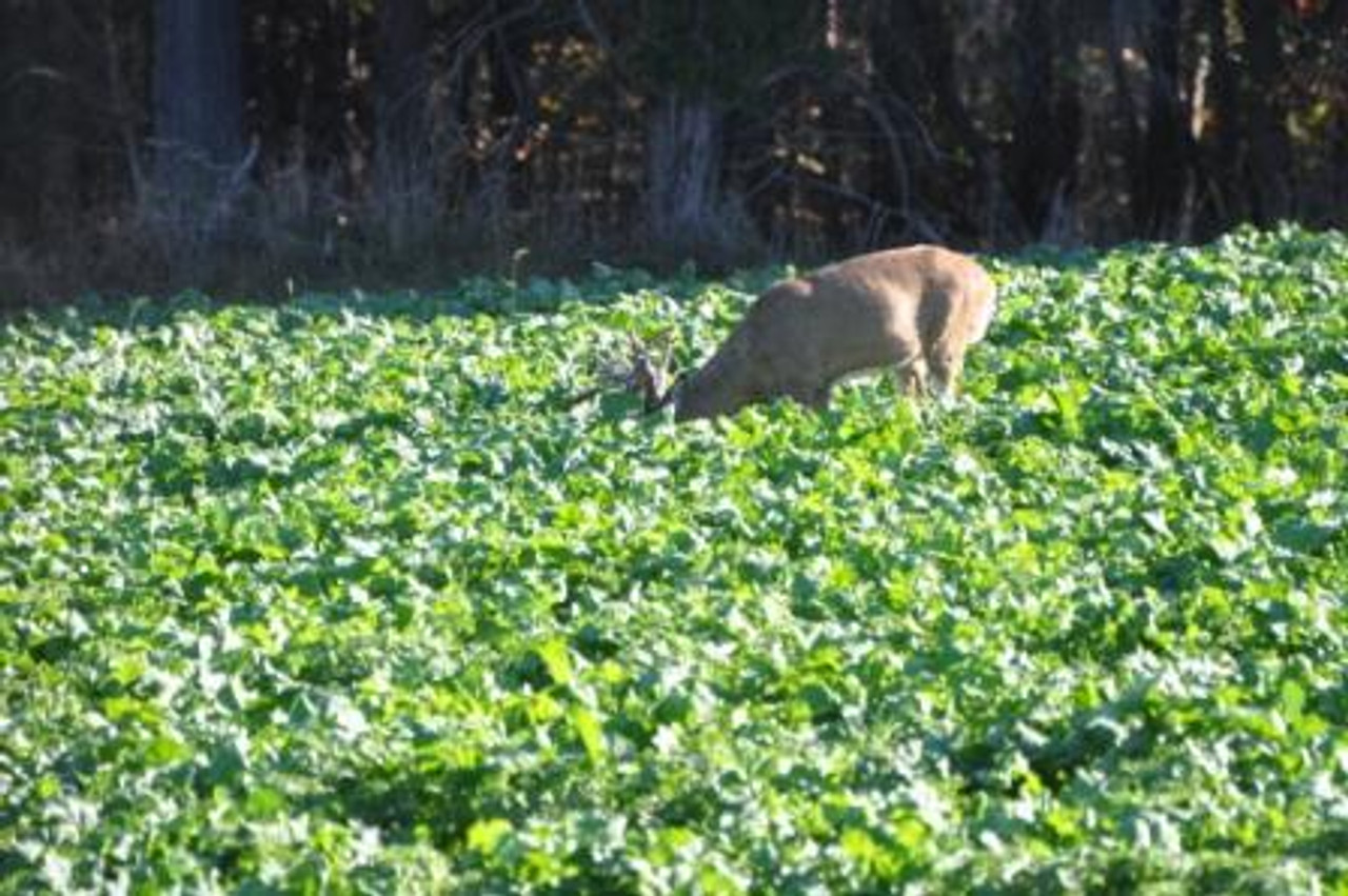 Whitetail Institute Imperial Winter-Greens Big Buck Feeding