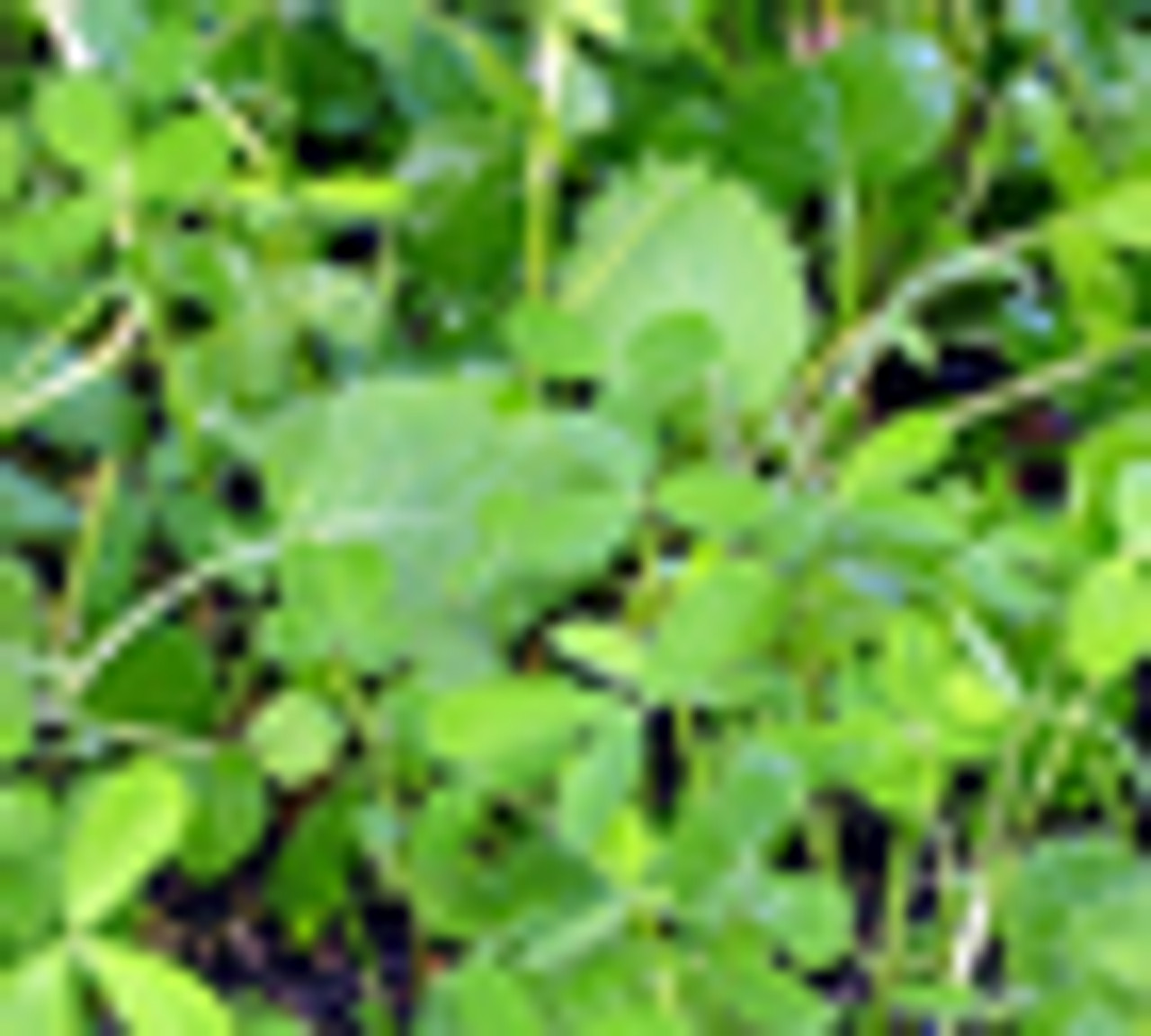Whitetail Institute Vision Food Plot