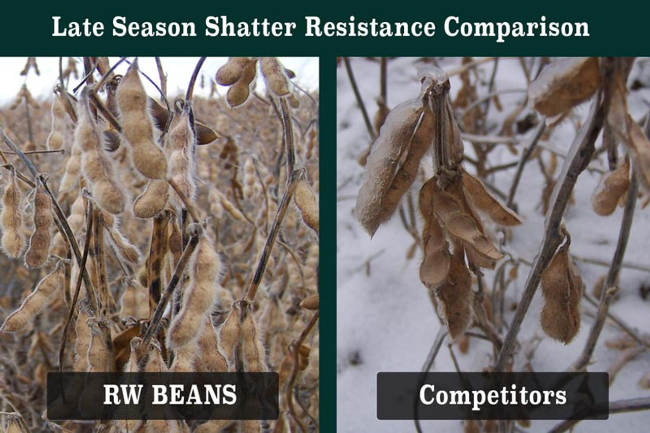 Real World Soybeans are shatter resistant