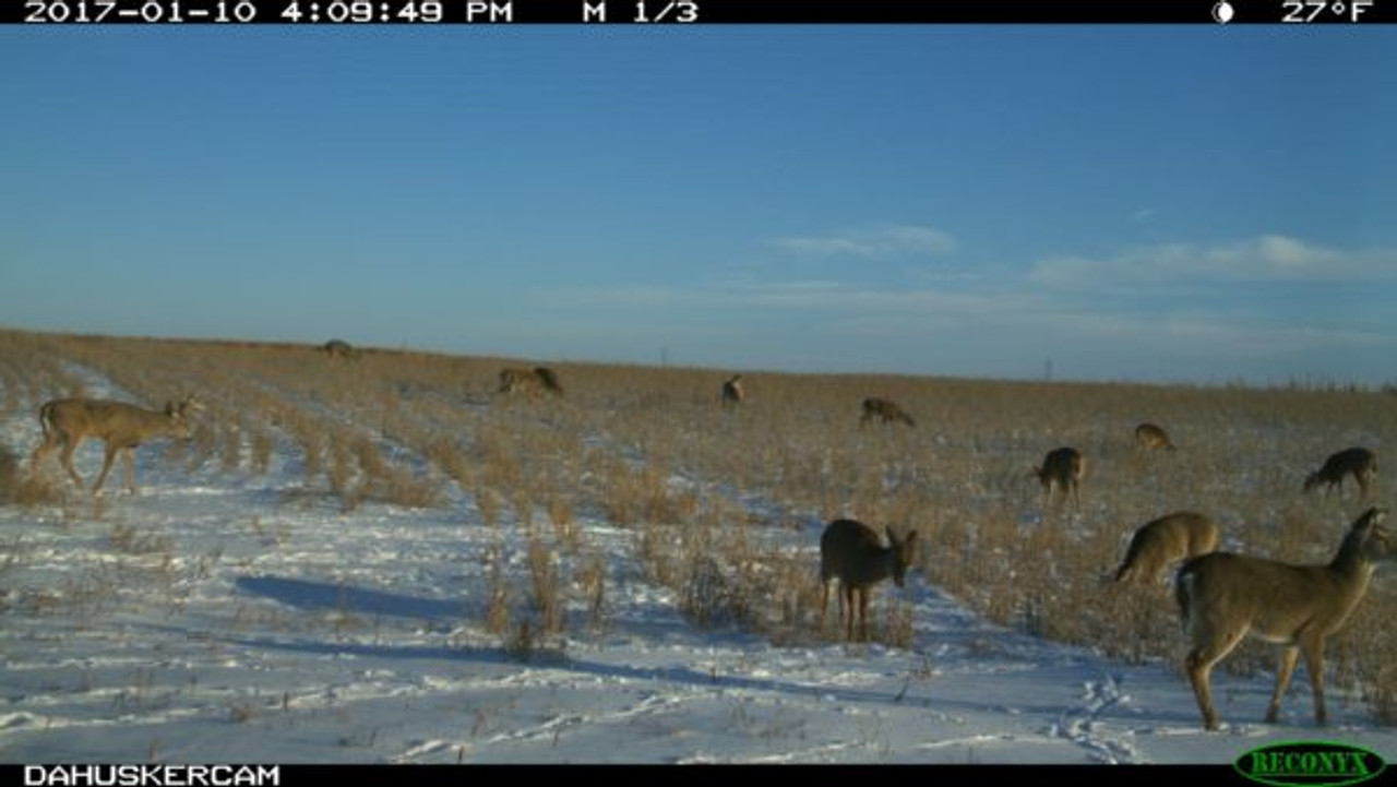Whitetail Deer Feeding on Real World Soybeans in the winter.
