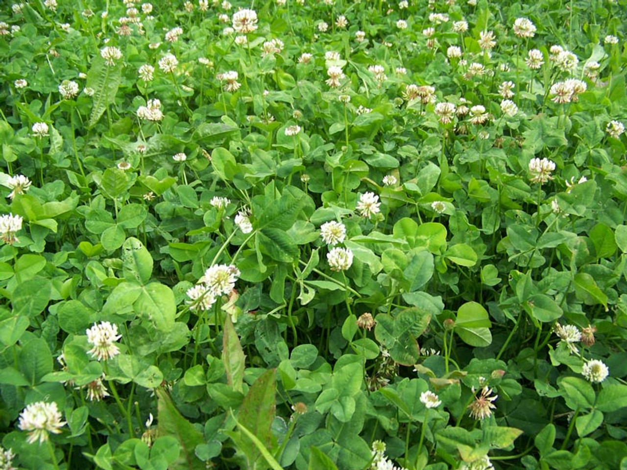 Real World Wildlife Chicory And Clover Food Plot