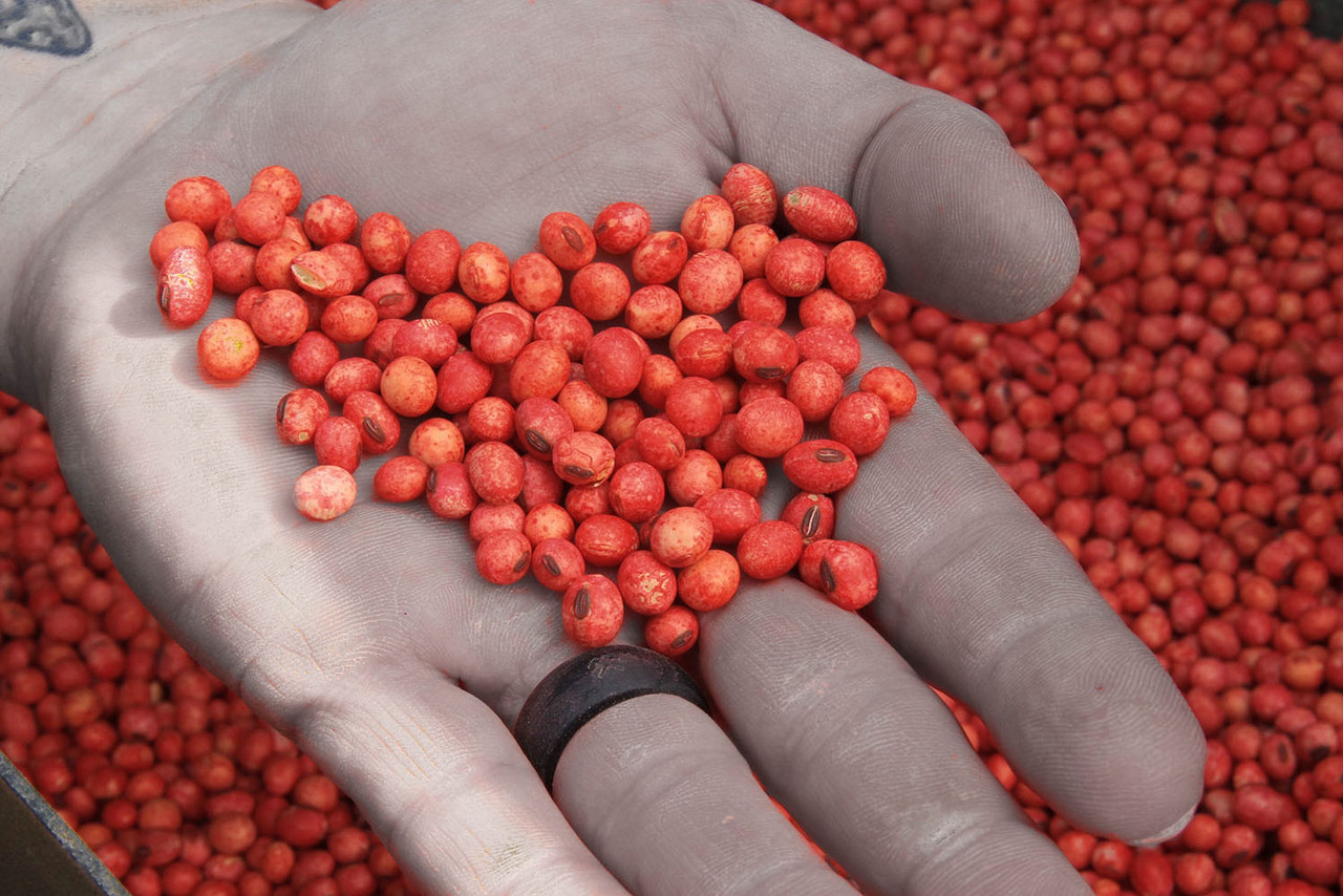 Real World Soybeans. Best Soybeans For Deer