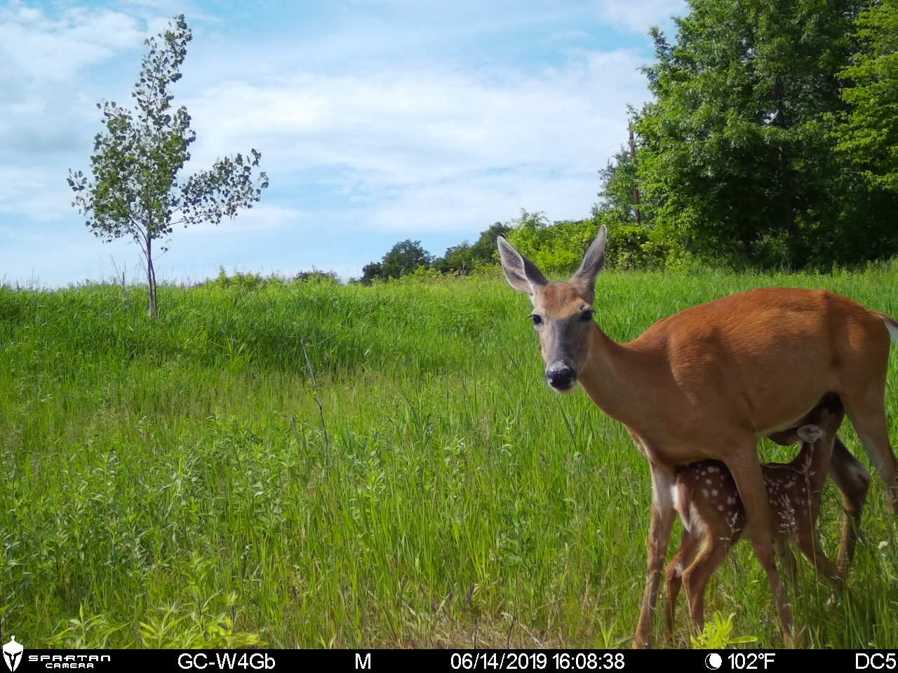 Spartan Ghost Camera Captures Doe And Fawn