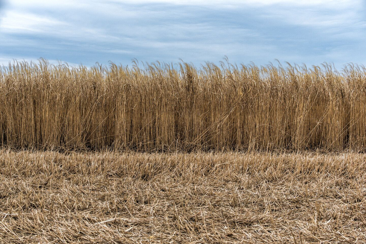 Real World Giant Miscanthus Grass For Plot Screen