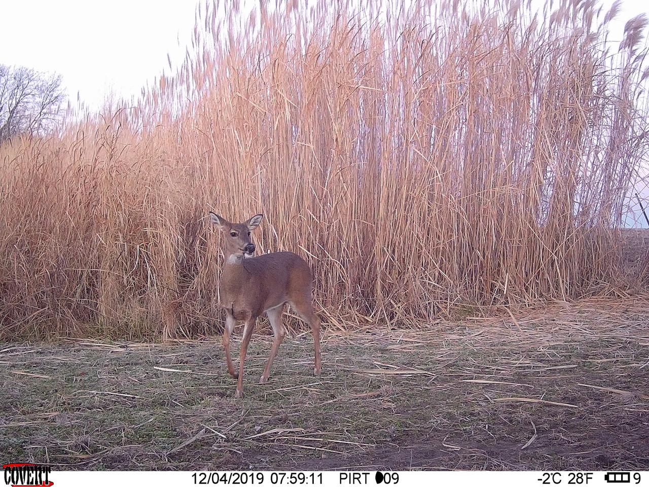 Real World Giant Miscanthus Grass For Plot Screen For Whitetail Deer