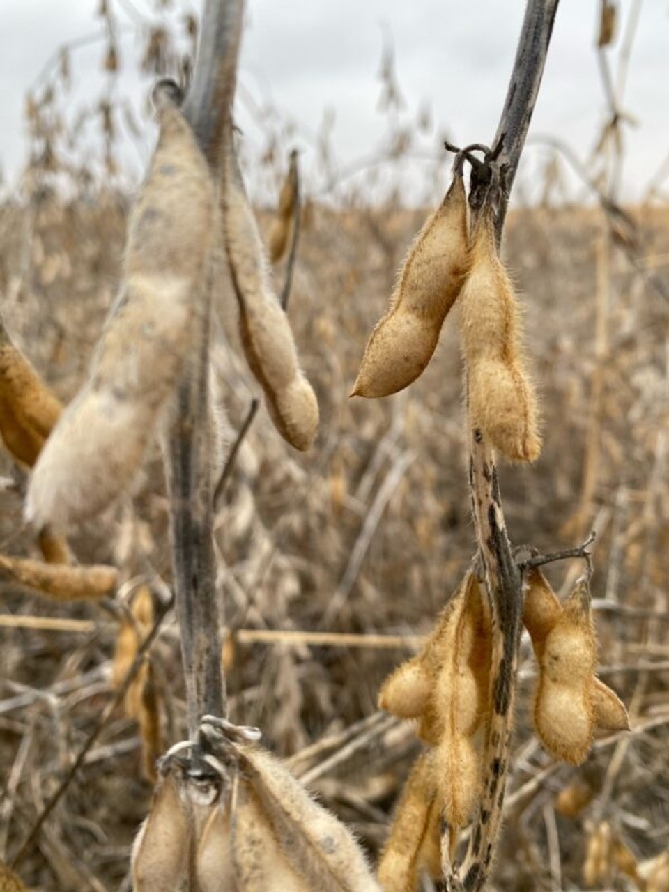Real World Enlist Soybeans Northern Food Plot Blend