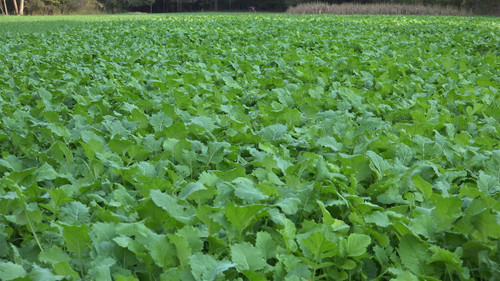 Whitetail Institute Beets & Greens Food Plot