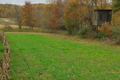 Real World Whitetail Forage Oats Food Plot