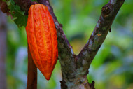 Whole Cacao Fruit Chocolate is Coming to Santa Barbara Chocolate