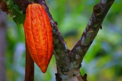 Whole Cacao Fruit Chocolate is Coming to Santa Barbara Chocolate