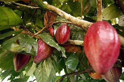 El Cacao Venezolano y Santa Bárbara Chocolate: The Organic Chocolate Source