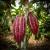 The prized Criollo Cacao pod
