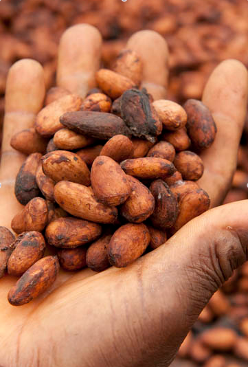 Harvested and Dried Cacao Beans