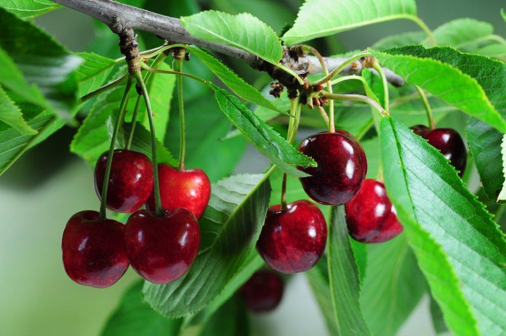 cherries-on-a-tree.jpg