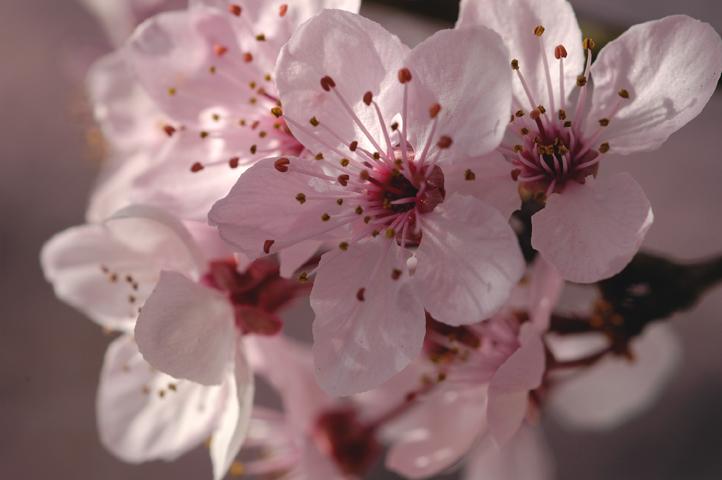 cherry-blossom-bunch.jpg
