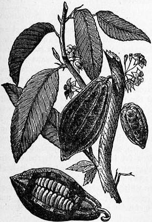 theobroma-cacao-drawing-showing-cacao-seeds.jpg